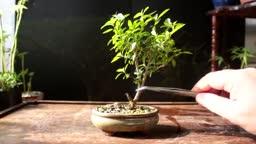 آموزش بونسای استایل درختان آفریقایی