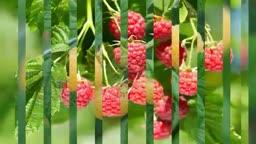 میوه رزبری