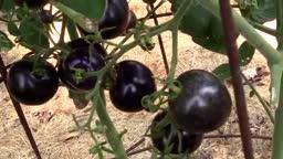 گوجه فرنگی سیاه حقیقت دارد؟