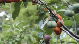 درختی با 40 نوع میوه